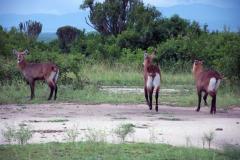 Antelope5