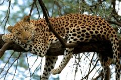 Leopard-in-Africa